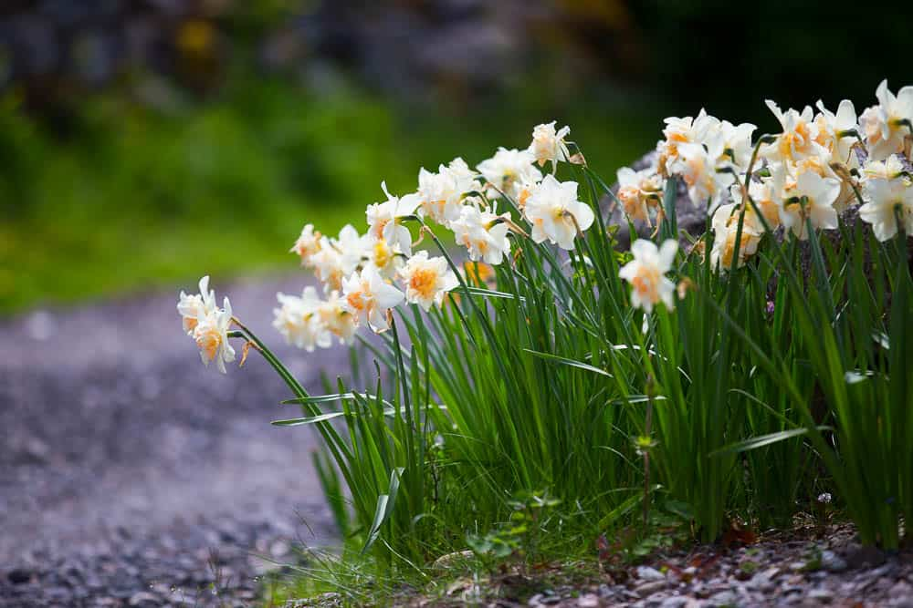 2 daffodils flowers