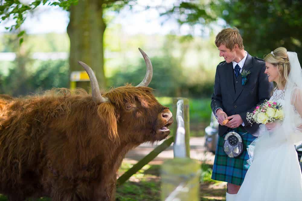 Fernie Castle wedding bride and groom with highland cow